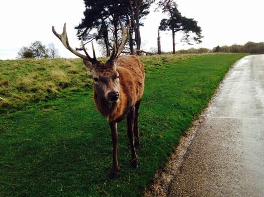 Large stag Nov 2015.jpg
